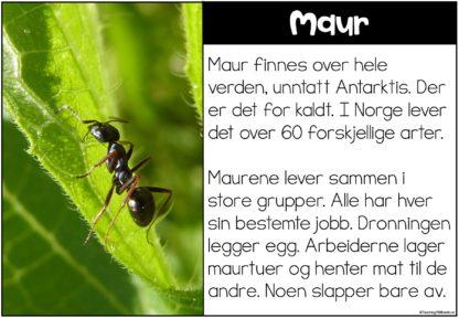 Faktatekst om maur og andre insekter