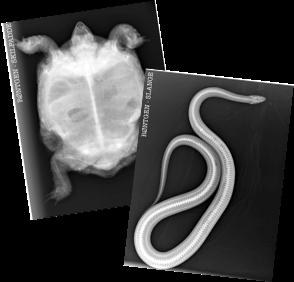 Røntgenbilder - rollelek